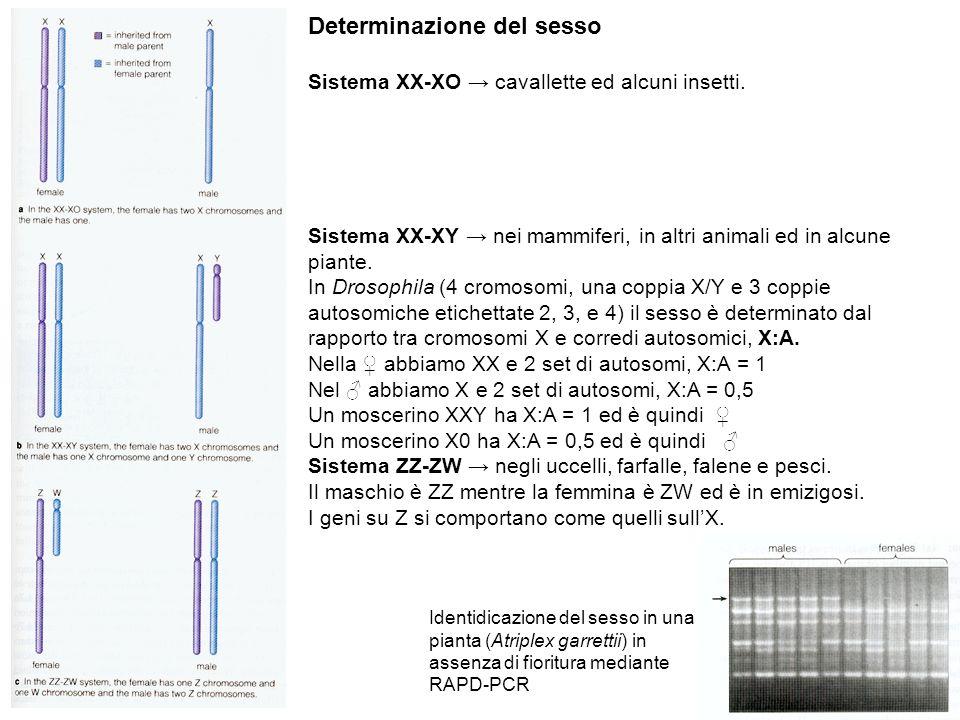 Determinazione del sesso Sistema XX-XO cavallette ed alcuni insetti. Sistema XX-XY nei mammiferi, in altri animali ed in alcune piante. In Drosophila