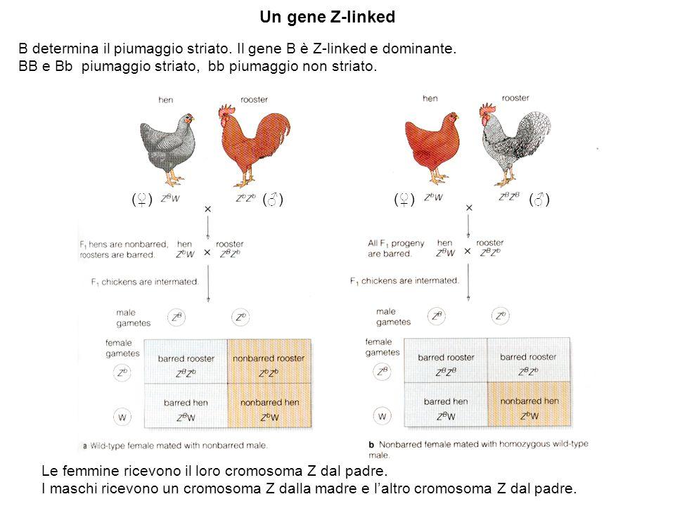Un gene Z-linked B determina il piumaggio striato. Il gene B è Z-linked e dominante. BB e Bb piumaggio striato, bb piumaggio non striato. Le femmine r
