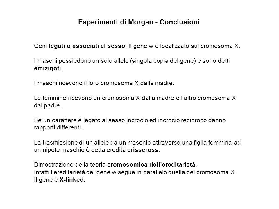 Esperimenti di Morgan - Conclusioni Geni legati o associati al sesso. Il gene w è localizzato sul cromosoma X. I maschi possiedono un solo allele (sin
