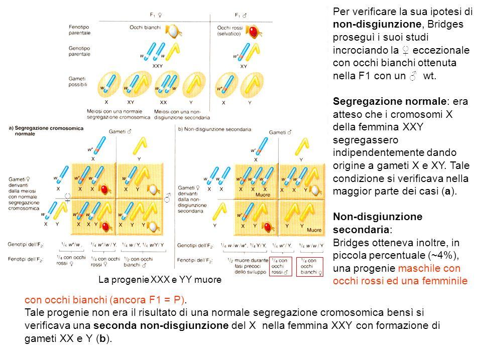 La progenie XXX e YY muore Per verificare la sua ipotesi di non-disgiunzione, Bridges proseguì i suoi studi incrociando la eccezionale con occhi bianc
