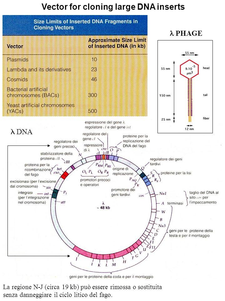 PHAGE DNA Vector for cloning large DNA inserts La regione N-J (circa 19 kb) può essere rimossa o sostituita senza danneggiare il ciclo litico del fago