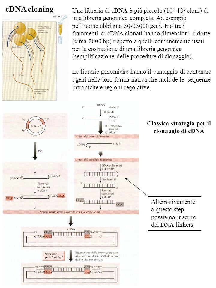 cDNA cloning Una libreria di cDNA è più piccola (10 4 -10 5 cloni) di una libreria genomica completa. Ad esempio nelluomo abbiamo 30-35000 geni. Inolt