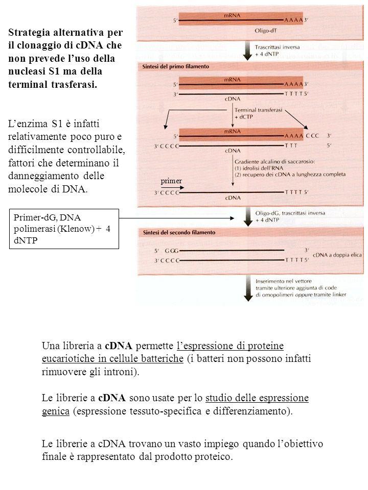 Una libreria a cDNA permette lespressione di proteine eucariotiche in cellule batteriche (i batteri non possono infatti rimuovere gli introni). Le lib