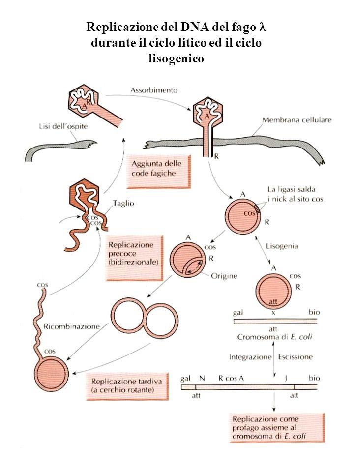 Replicazione del DNA del fago durante il ciclo litico ed il ciclo lisogenico