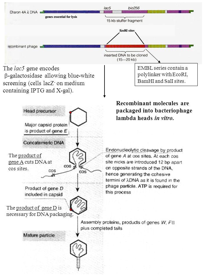 Impaccamento in vitro dei concatenameri di in presenza della miscela dei due estratti di packaging Il processo di impaccamento in vitro si basa sulla miscelazione del DNA fagico ricombinante con elevate concentrazioni di precursori della testa, di code e proteine di packaging.