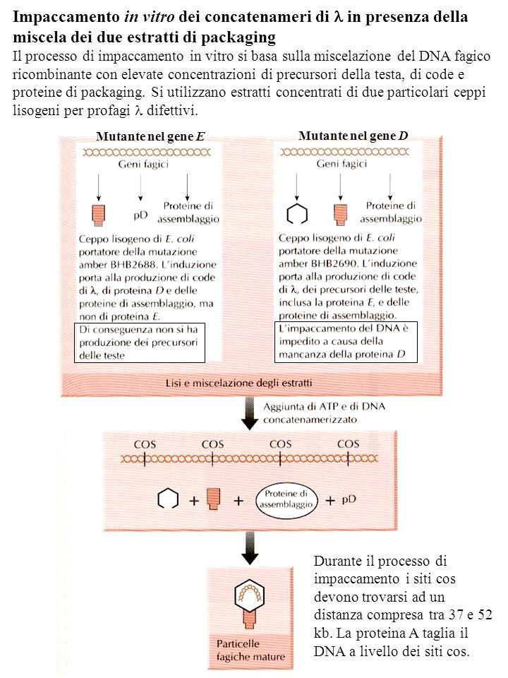 Impaccamento in vitro dei concatenameri di in presenza della miscela dei due estratti di packaging Il processo di impaccamento in vitro si basa sulla