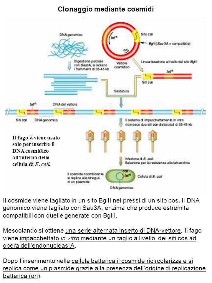 Clonaggio mediante cosmidi Il cosmide viene tagliato in un sito BglII nei pressi di un sito cos. Il DNA genomico viene tagliato con Sau3A, enzima che