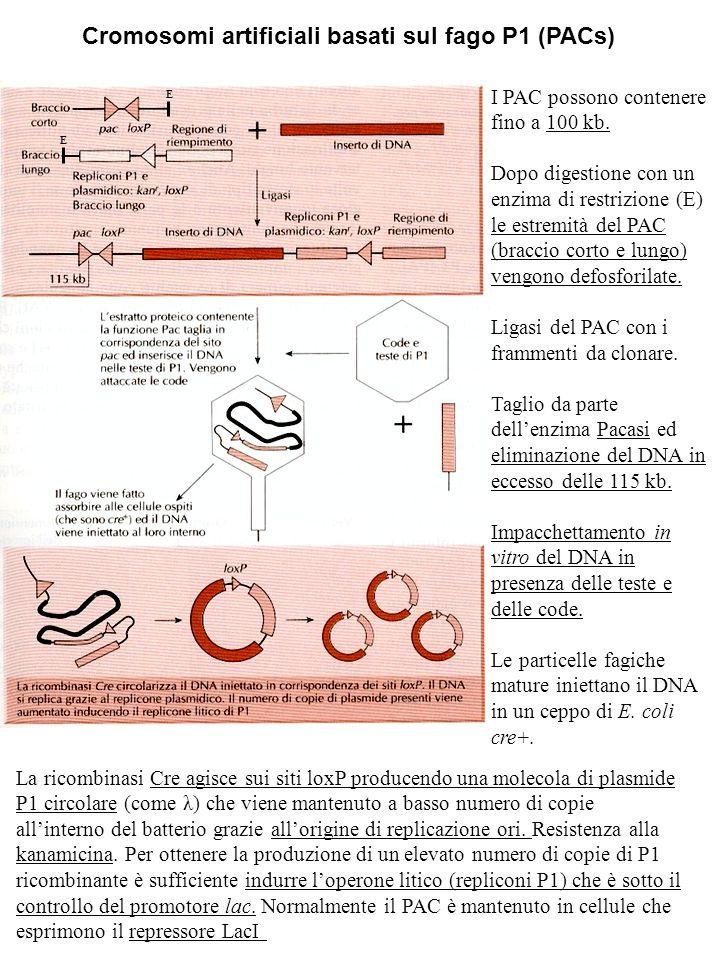 Cromosomi artificiali basati sul fago P1 (PACs) I PAC possono contenere fino a 100 kb. Dopo digestione con un enzima di restrizione (E) le estremità d