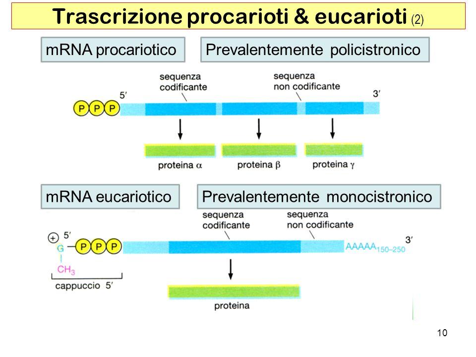10 Trascrizione procarioti & eucarioti (2) mRNA procariotico mRNA eucariotico Prevalentemente policistronico Prevalentemente monocistronico