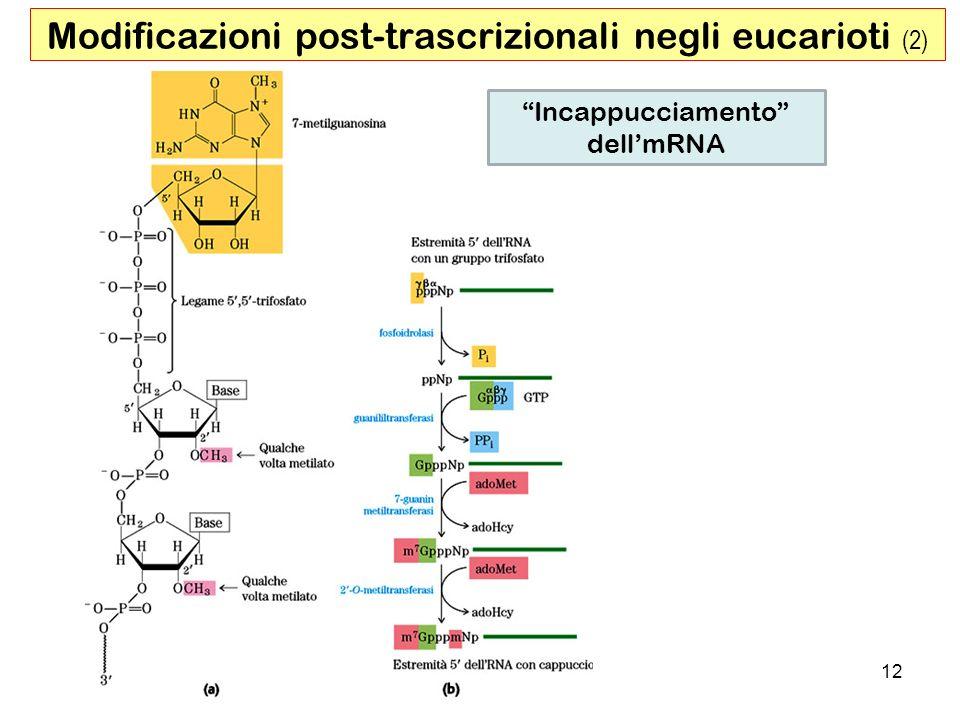 12 Modificazioni post-trascrizionali negli eucarioti (2) Incappucciamento dellmRNA