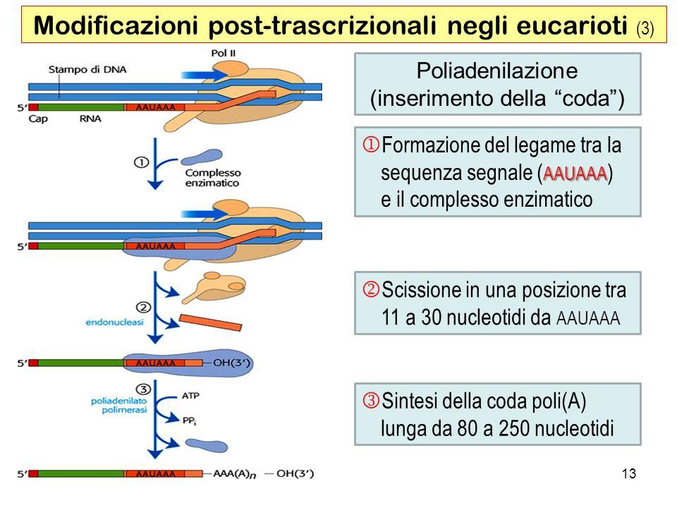 13 Poliadenilazione (inserimento della coda) AAUAAA Formazione del legame tra la sequenza segnale ( AAUAAA ) e il complesso enzimatico Scissione in un