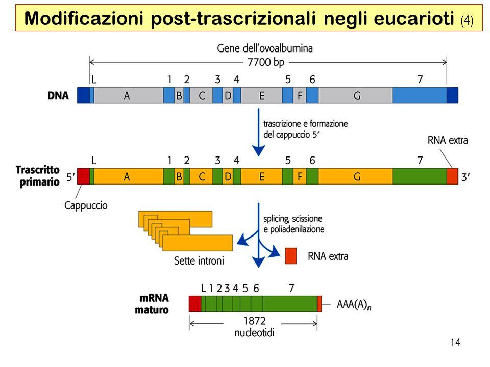 14 Modificazioni post-trascrizionali negli eucarioti (4)