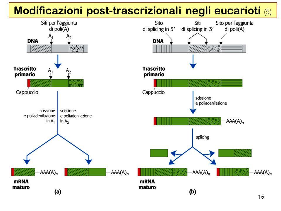 15 Modificazioni post-trascrizionali negli eucarioti (5)