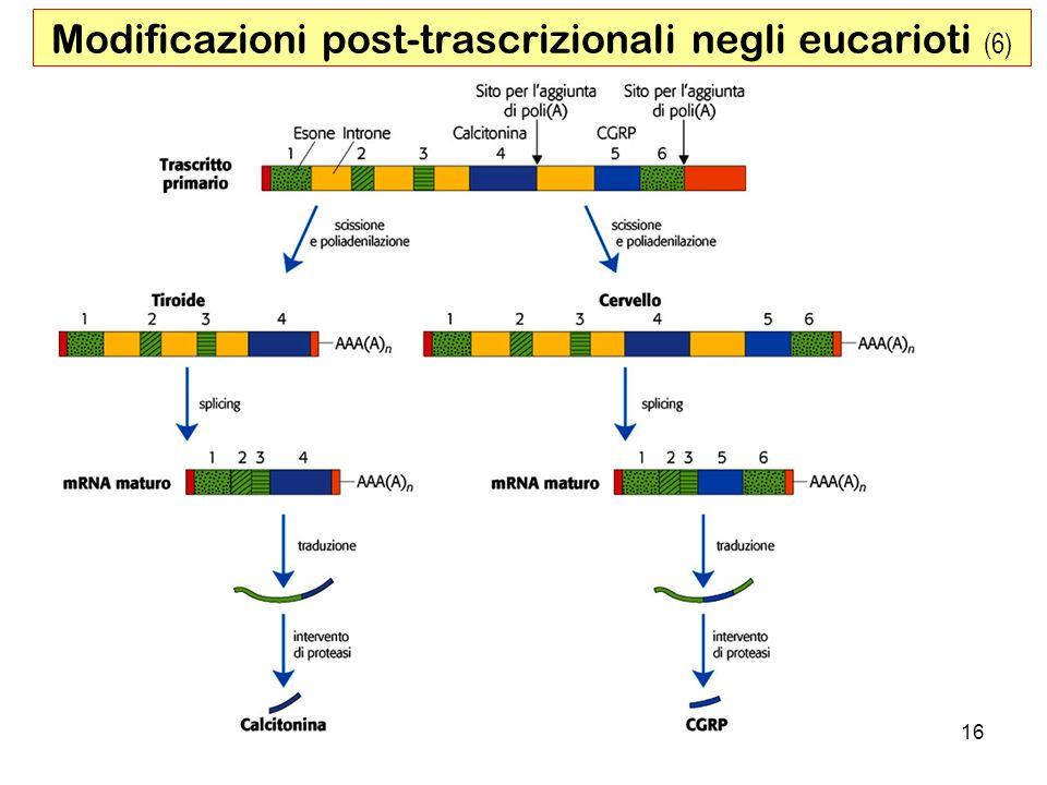 16 Modificazioni post-trascrizionali negli eucarioti (6)
