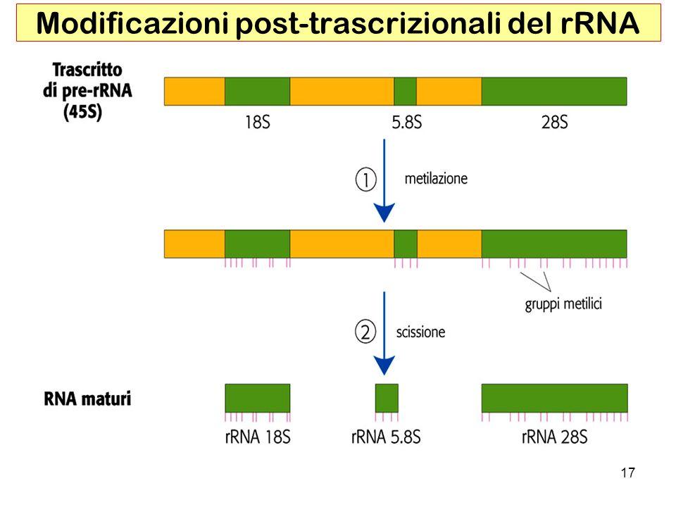 17 Modificazioni post-trascrizionali del rRNA