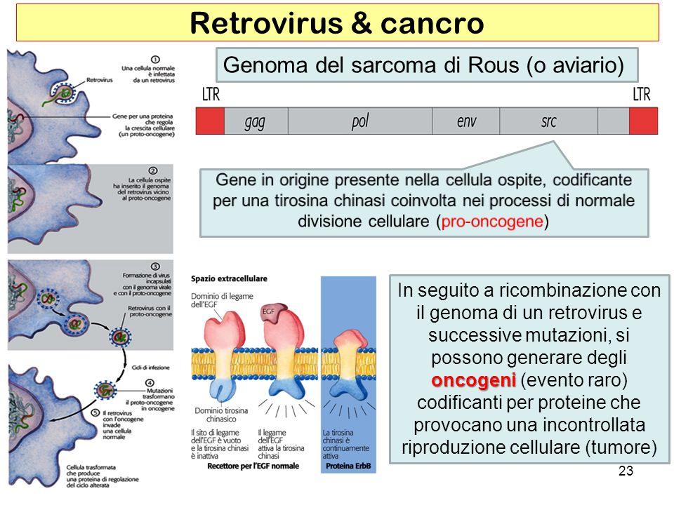23 Retrovirus & cancro Genoma del sarcoma di Rous (o aviario) oncogeni In seguito a ricombinazione con il genoma di un retrovirus e successive mutazio