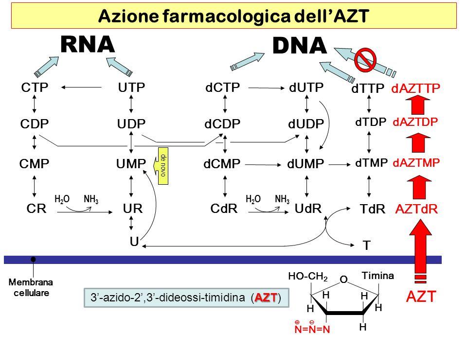 RNA DNA CTP dUDP dCTP CMPUMP UDP UTP dCMP dCDP dUTP dUMP dTMP dAZTMP dTDP dAZTDP dTTP dAZTTP CDP CRURCdRUdR TdR AZTdR U T Membrana cellulare H2OH2ONH