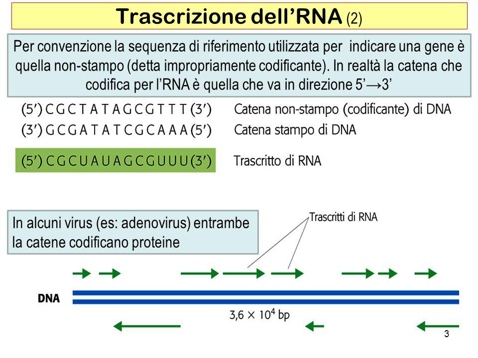 3 Trascrizione dellRNA (2) Per convenzione la sequenza di riferimento utilizzata per indicare una gene è quella non-stampo (detta impropriamente codif