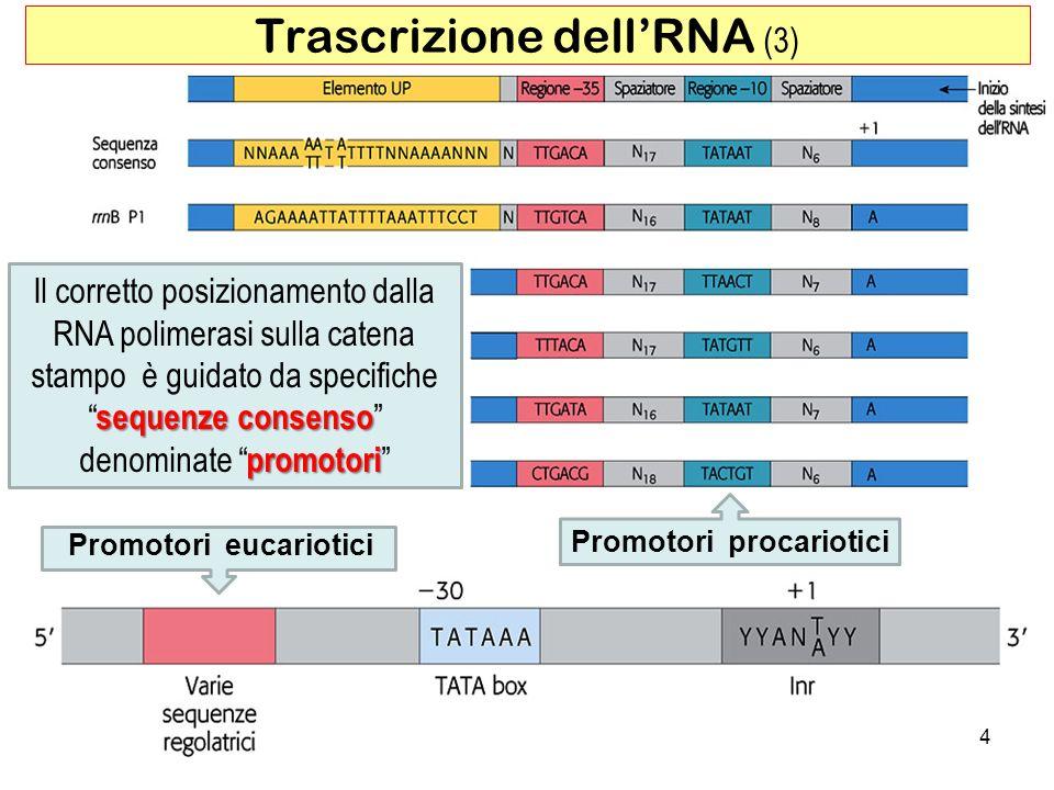 4 Trascrizione dellRNA (3) Il corretto posizionamento dalla RNA polimerasi sulla catena sequenze consenso promotori stampo è guidato da specifiche seq