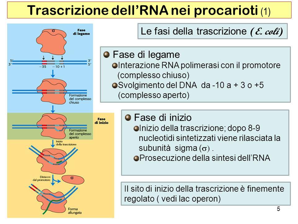 5 Trascrizione dellRNA nei procarioti (1) Le fasi della trascrizione (E. coli) Fase di inizio Inizio della trascrizione; dopo 8-9 nucleotidi sintetizz