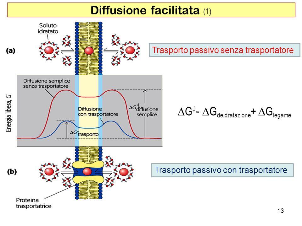 Diffusione facilitata (1) Trasporto passivo senza trasportatore Trasporto passivo con trasportatore G = G deidratazione + G legame 13