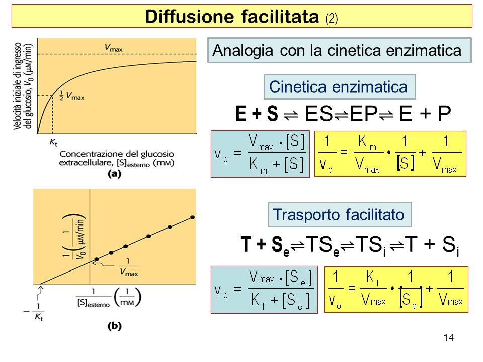Diffusione facilitata (2) E + S ESEP E + P T + S e TS e TS i T + S i Cinetica enzimatica Trasporto facilitato 14 Analogia con la cinetica enzimatica