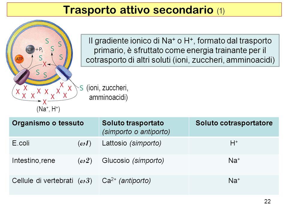 22 Trasporto attivo secondario (1) Il gradiente ionico di Na + o H +, formato dal trasporto primario, è sfruttato come energia trainante per il cotras