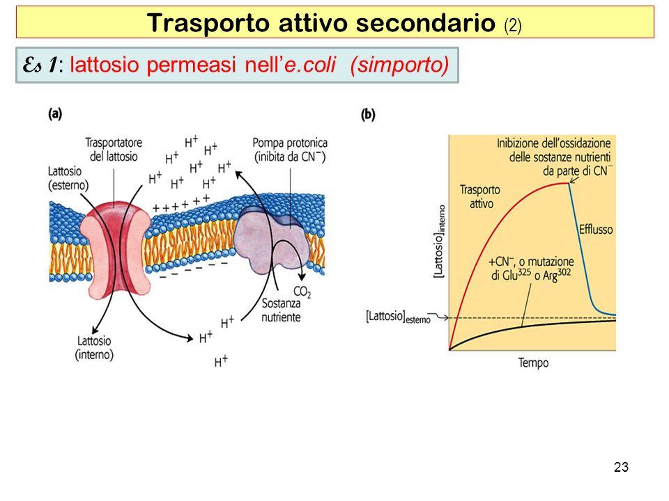 Trasporto attivo secondario (2) 23 Es 1 : lattosio permeasi nelle.coli (simporto)