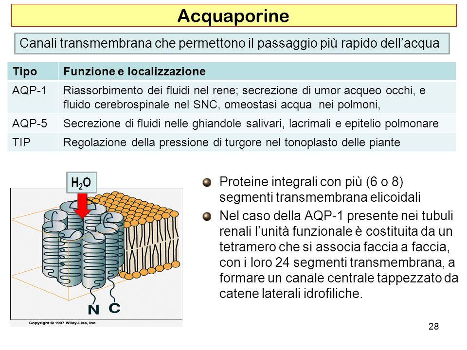 Proteine integrali con più (6 o 8) segmenti transmembrana elicoidali Nel caso della AQP-1 presente nei tubuli renali lunità funzionale è costituita da