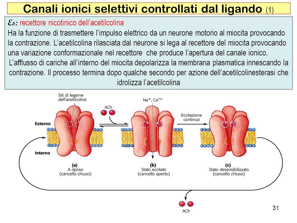 Canali ionici selettivi controllati dal ligando (1) 31 Es: recettore nicotinico dellacetilcolina Ha la funzione di trasmettere limpulso elettrico da u