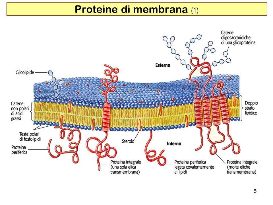 Proteine di membrana (1) 5