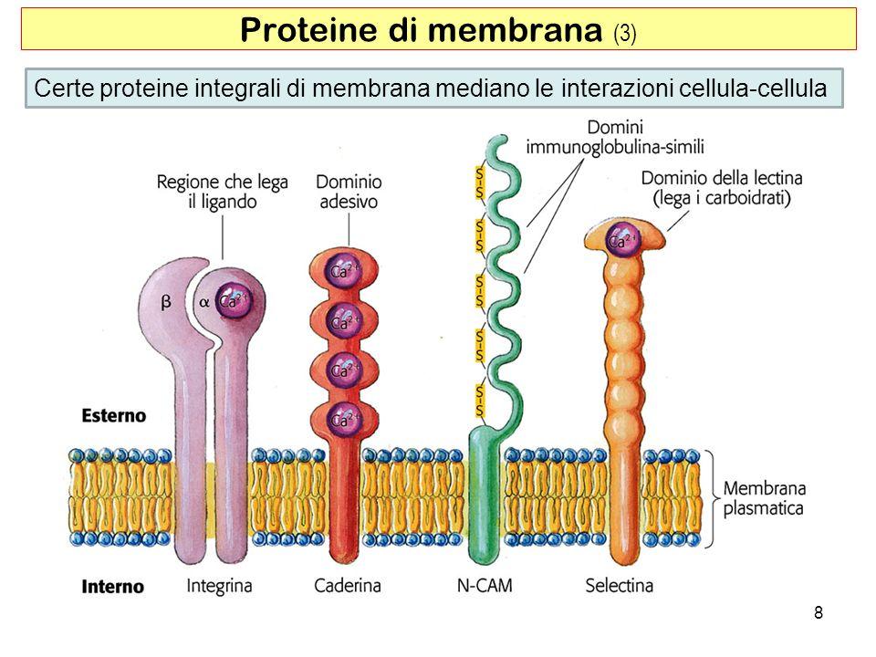 8 Proteine di membrana (3) Certe proteine integrali di membrana mediano le interazioni cellula-cellula