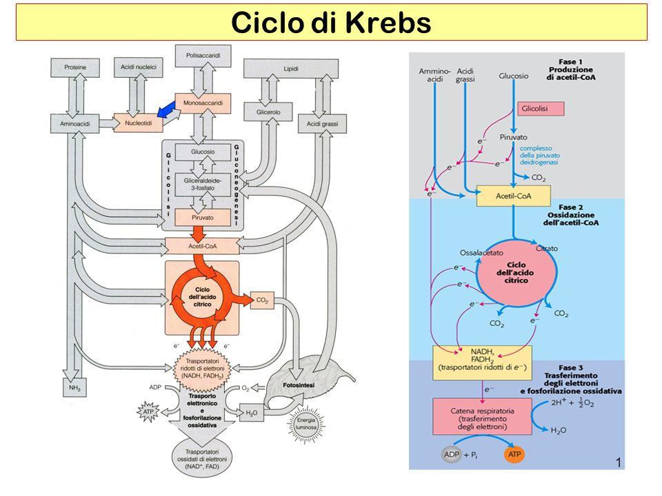 12 I componenti del ciclo sono importanti intermedi biosintetici Il ciclo di Krebs è il cuore del metabolismo intermedio via anfibolica ( via anfibolica )