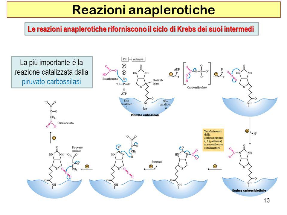 13 Reazioni anaplerotiche Le reazioni anaplerotiche riforniscono il ciclo di Krebs dei suoi intermedi La più importante è la reazione catalizzata dall