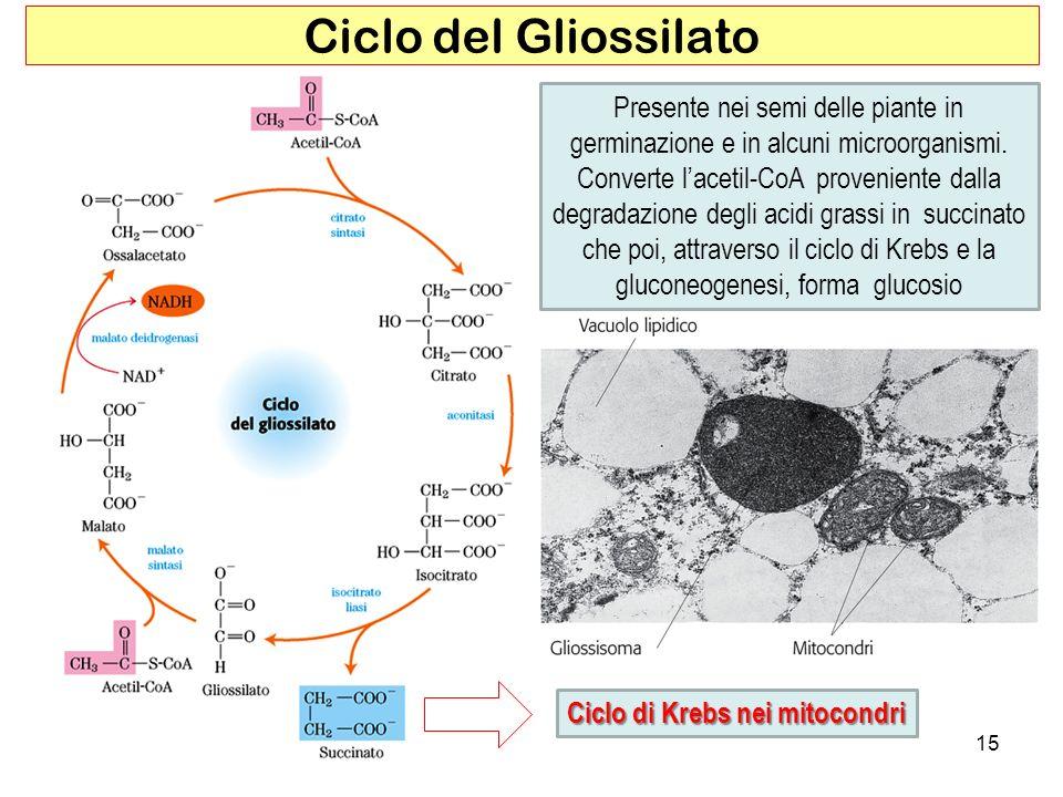 15 Ciclo del Gliossilato Presente nei semi delle piante in germinazione e in alcuni microorganismi. Converte lacetil-CoA proveniente dalla degradazion