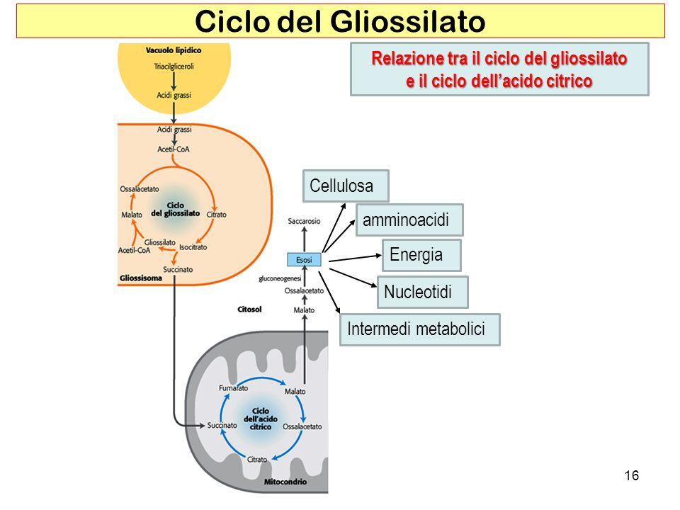 16 Ciclo del Gliossilato Relazione tra il ciclo del gliossilato e il ciclo dellacido citrico amminoacidi Cellulosa Energia Intermedi metabolici Nucleo