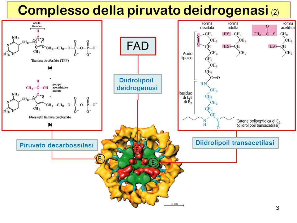 14 Regolazione del ciclo di Krebs Regolazione allingresso (complesso piruvato deidrogenasi) Inibizione da prodotto ( Acetil-CoA, NADH ) Regolazione feed-back ( ATP/AMP, NADH/NAD + ) Regolazione covalente su E 1 ( chinasi /fosfatasi ) Concentrazione Ca 2+ (nel muscolo) Regolazione delle prime tre tappe intermedie irreversibili Disponibilità del substrato (acetil-CoA, ossalacetato) Inibizione da prodotto Regolazione feed-back (ATP/AMP, NADH/NAD + ) Concentrazione Ca 2+ (nel muscolo)