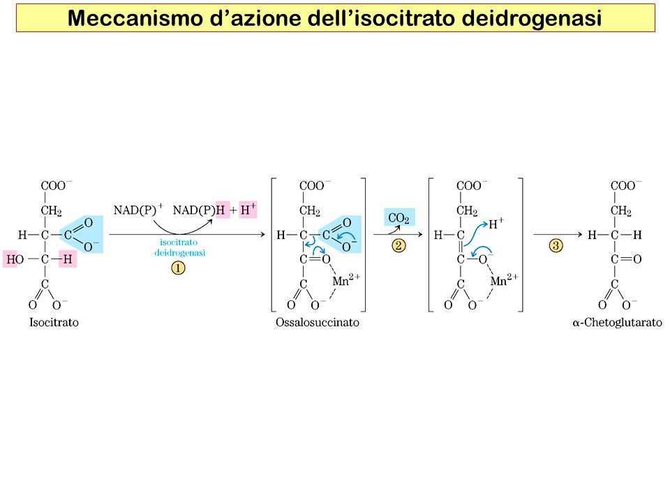 10 Succinil –CoA sintasi fosforilazione al livello del substrato Unica reazione del ciclo di Krebs che porta alla formazione di ATP con un meccanismo analogo a quanto visto nella glicolisi ( fosforilazione al livello del substrato ) con la differenza che il substrato ad alto potenziale di trasferimento del fosfato è legato allenzima tramite unistidina Fosforilazione al livello del substrato