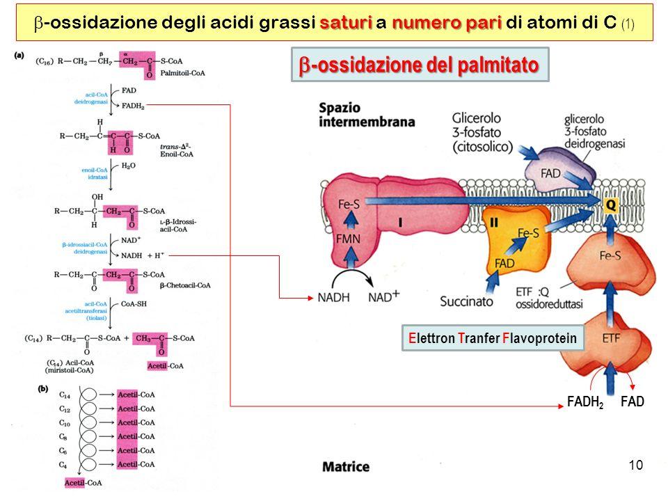 10 saturinumero pari -ossidazione degli acidi grassi saturi a numero pari di atomi di C (1) FADH 2 FAD Elettron Tranfer Flavoprotein -ossidazione del palmitato -ossidazione del palmitato