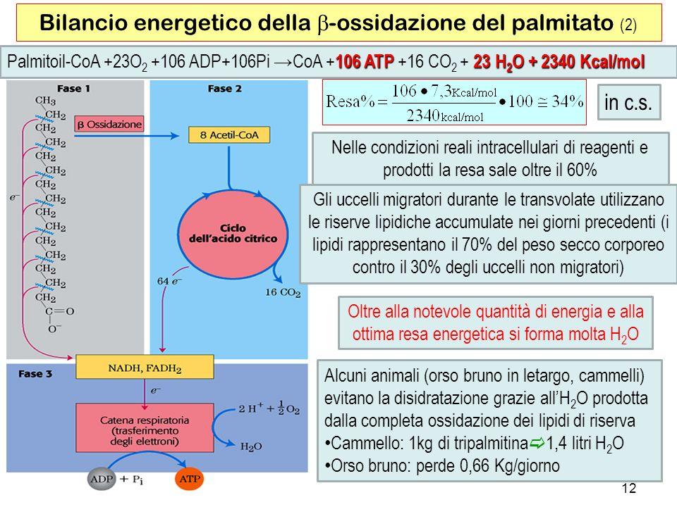 Alcuni animali (orso bruno in letargo, cammelli) evitano la disidratazione grazie allH 2 O prodotta dalla completa ossidazione dei lipidi di riserva Cammello: 1kg di tripalmitina 1,4 litri H 2 O Orso bruno: perde 0,66 Kg/giorno 12 Bilancio energetico della -ossidazione del palmitato (2) Oltre alla notevole quantità di energia e alla ottima resa energetica si forma molta H 2 O 106 ATP 23 H 2 O + 2340 Kcal/mol Palmitoil-CoA +23O 2 +106 ADP+106Pi CoA +106 ATP +16 CO 2 + 23 H 2 O + 2340 Kcal/mol Nelle condizioni reali intracellulari di reagenti e prodotti la resa sale oltre il 60% in c.s.