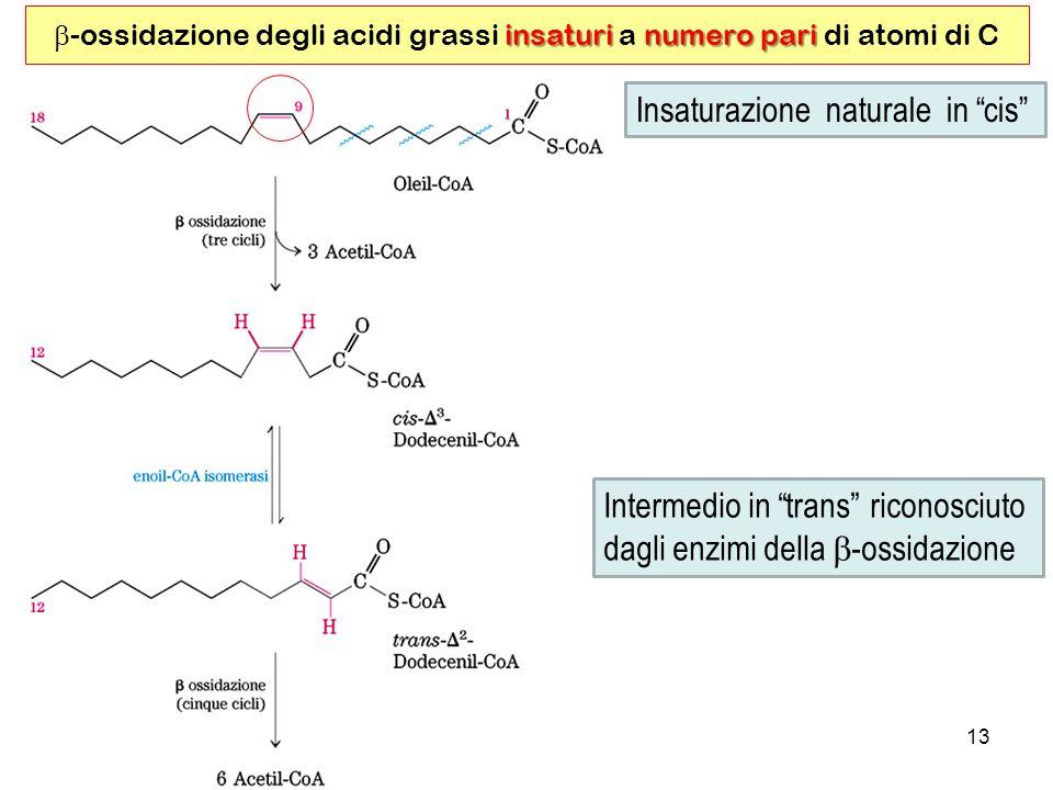 13 insaturinumero pari -ossidazione degli acidi grassi insaturi a numero pari di atomi di C Insaturazione naturale in cis Intermedio in trans riconosciuto dagli enzimi della -ossidazione
