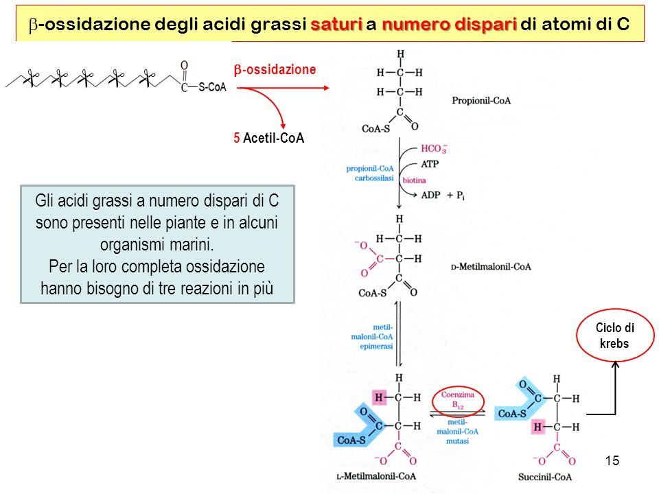 15 saturinumero dispari -ossidazione degli acidi grassi saturi a numero dispari di atomi di C Gli acidi grassi a numero dispari di C sono presenti nelle piante e in alcuni organismi marini.