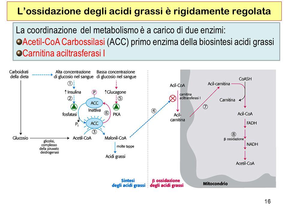 16 Lossidazione degli acidi grassi è rigidamente regolata La coordinazione del metabolismo è a carico di due enzimi: Acetil-CoA Carbossilasi (ACC) primo enzima della biosintesi acidi grassi Carnitina aciltrasferasi I