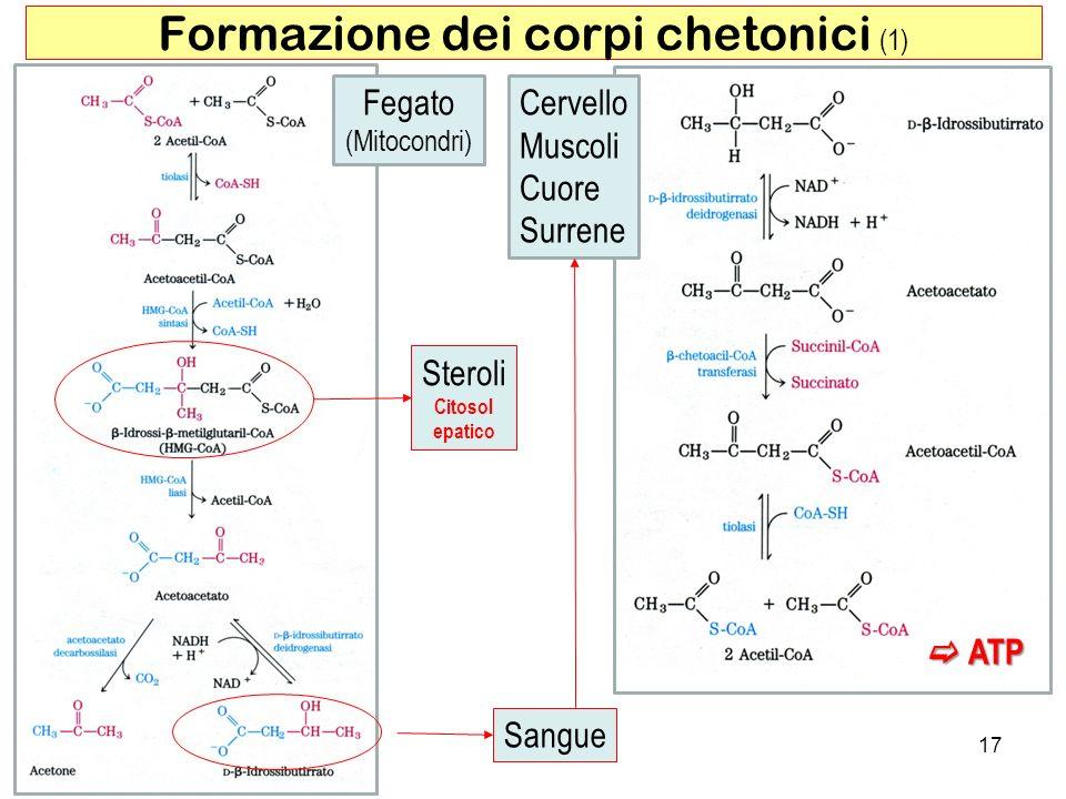 17 Formazione dei corpi chetonici (1) Fegato (Mitocondri) Cervello Muscoli Cuore Surrene Steroli Citosol epatico Sangue ATP ATP