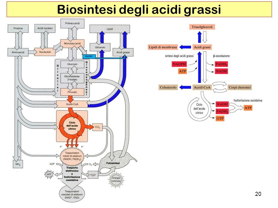 20 Biosintesi degli acidi grassi NADPH