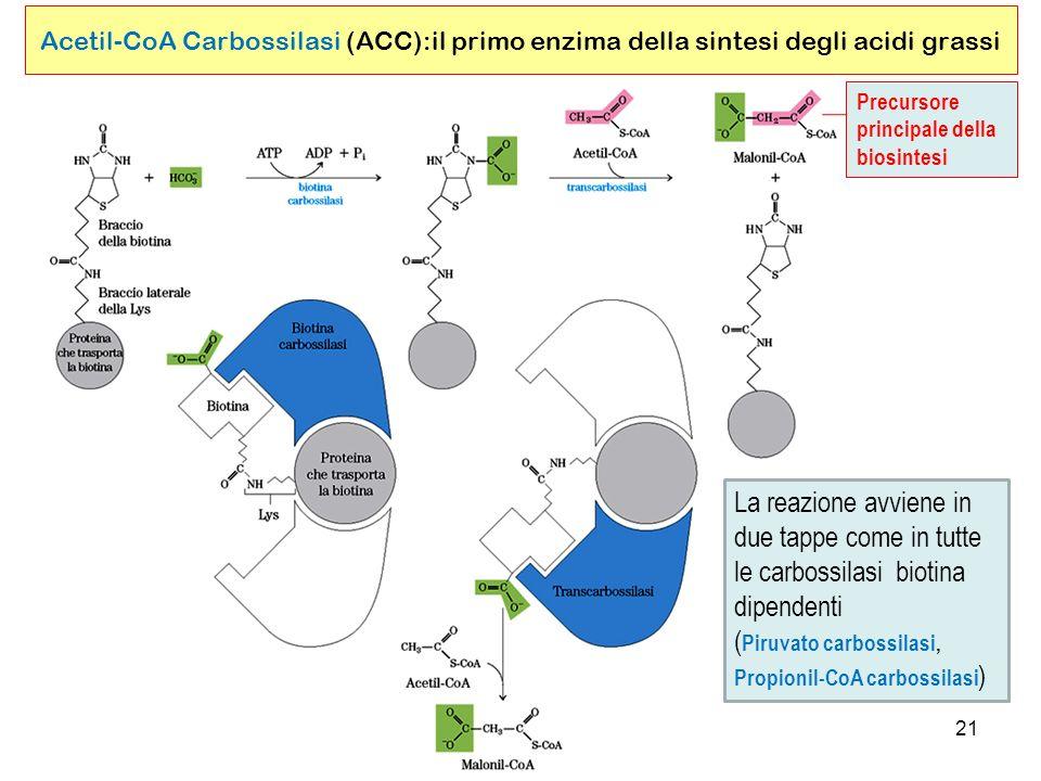 21 Acetil-CoA Carbossilasi (ACC):il primo enzima della sintesi degli acidi grassi Precursore principale della biosintesi La reazione avviene in due tappe come in tutte le carbossilasi biotina dipendenti ( Piruvato carbossilasi, Propionil-CoA carbossilasi )