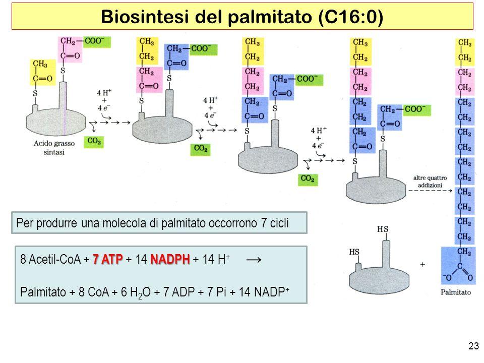 23 Biosintesi del palmitato (C16:0) Per produrre una molecola di palmitato occorrono 7 cicli 7 ATP NADPH 8 Acetil-CoA + 7 ATP + 14 NADPH + 14 H + Palmitato + 8 CoA + 6 H 2 O + 7 ADP + 7 Pi + 14 NADP +