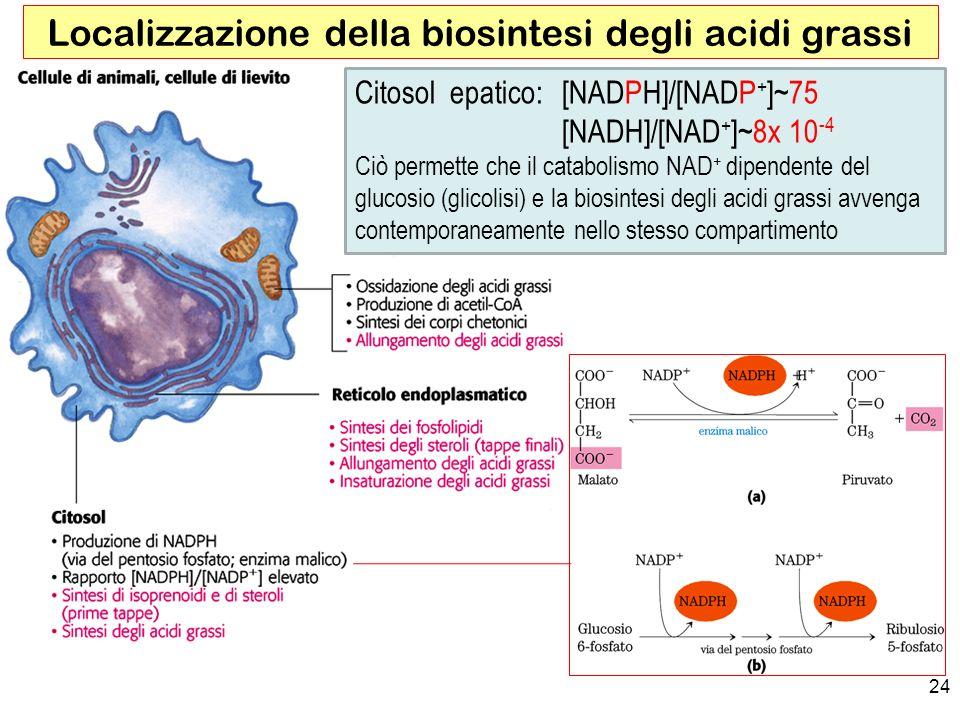 24 Localizzazione della biosintesi degli acidi grassi Citosol epatico: [NADPH]/[NADP + ]~75 [NADH]/[NAD + ]~8x 10 -4 Ciò permette che il catabolismo NAD + dipendente del glucosio (glicolisi) e la biosintesi degli acidi grassi avvenga contemporaneamente nello stesso compartimento