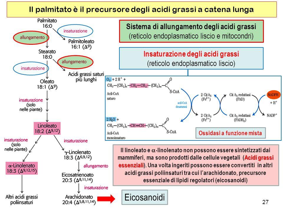 27 Il palmitato è il precursore degli acidi grassi a catena lunga Sistema di allungamento degli acidi grassi (reticolo endoplasmatico liscio e mitocondri) Acidi grassi Il linoleato e -linolenato non possono essere sintetizzati dai mammiferi, ma sono prodotti dalle cellule vegetali (Acidi grassi essenziali essenziali).