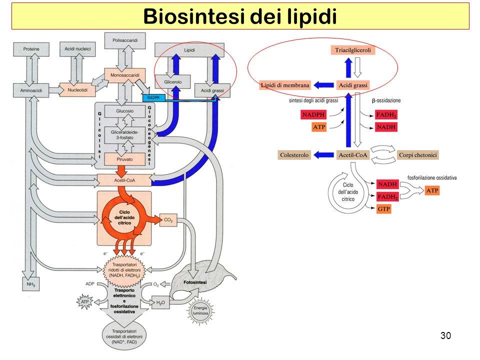 30 Biosintesi dei lipidi NADPH